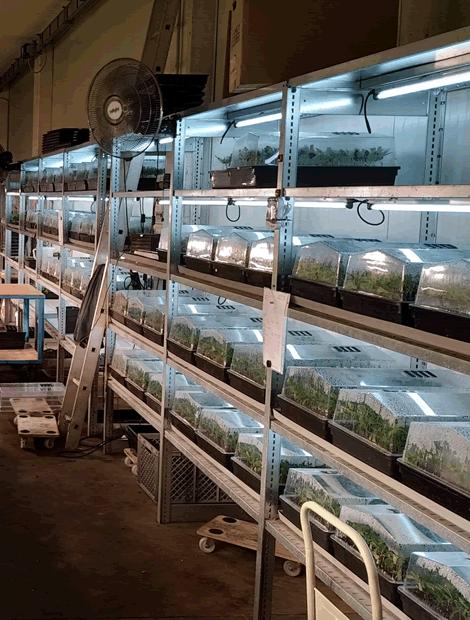 CBD Cannabis Stecklingsproduktion